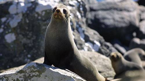 Coorong fishers are struggling to stay afloat financially as the New Zealand fur seal invades waters near Meningie.